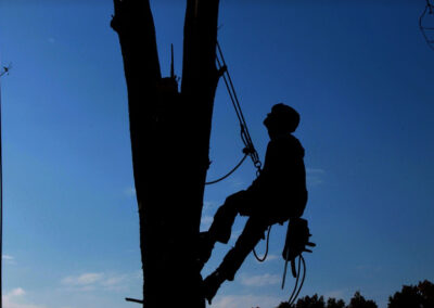 this image shows tree cabling by lake forest tree care