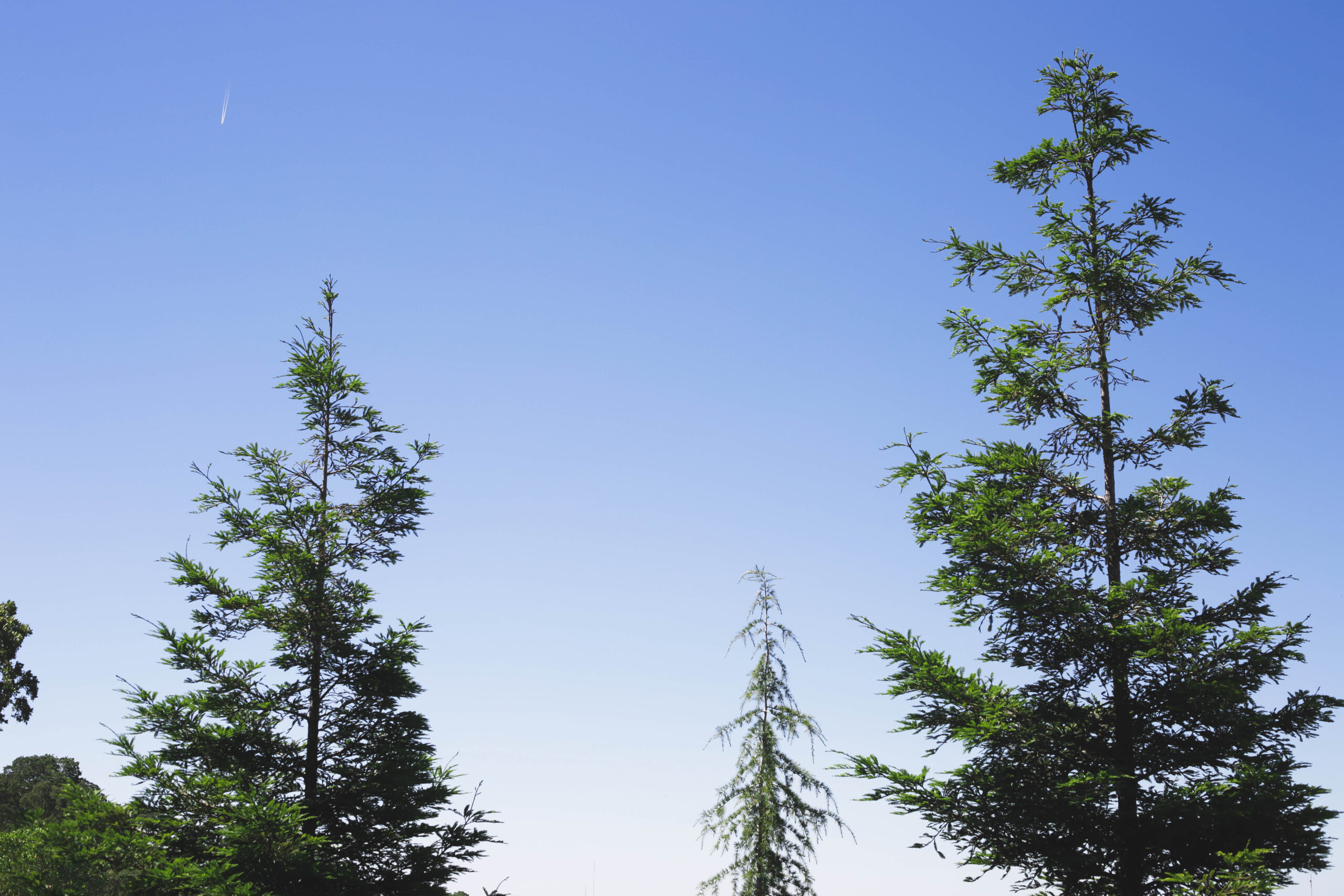 this image shows types of trees we service in lake forest, california